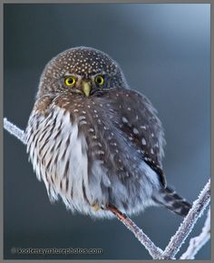Pygmy Owl | video of this Owl is located here: Northern Pygmy Owl Video