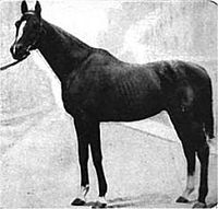 Halma American Thoroughbred racehorse black stallion bred in Kentucky by Eastin & Larabie, Halma was a son of Hanover, a three-time Leading sire in North America and a U. Racing Hall of Fame inductee. Kentucky Derby, Thoroughbred Horse, Dressage, Derby Winners, Black Stallion, Sport Of Kings, Racehorse, Horse Racing, Beautiful Horses