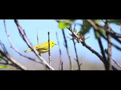 Good video for kids on bird migration More good resources for bird learning - http://www.birds.cornell.edu/physics/lessons/elementary