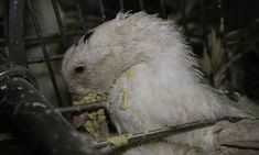 Animaux - Signez la pétition   Pétition pour avoir le droit de filmer dans  les salles de gavage des canards et des oies 321adf6d33a