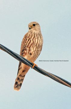 #Birds - The Merlin is a small species of Falcon that passes through Southern Arizona to it's over-wintering grounds. Photographed at the Santa Cruz Flats, Tucson AZ. (Note: I was in the SUV leaning over the driver to get this shot – lol)  ©Dancing Snake Nature Photography Arizona Birds, Sonora Desert, Kites, Birds Of Prey, Raptors, Hawks, Tucson, Merlin, Beautiful Birds