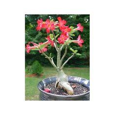 Rosa Do Deserto Adenium 3 Anos Flores Plantas Jardim - R$ 29,89 em Mercado Livre