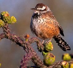 Arizona Cactus Wren. They are pretty tame, curious and friendly birds.
