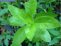 Can Ashitaba help you Lose Weight