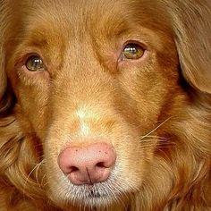 Strike a pose #tollers #dogs  #honden #novascotiaducktollingretriever #tollersofinstagram #ducktoller