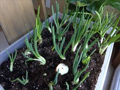 Onion Sprouts, Plants, Plant, Planets