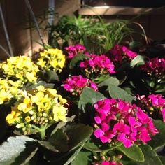 Kalanchoe flowering houseplant