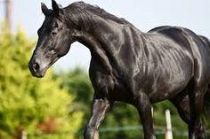 Image result for black horse photographs