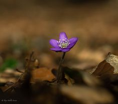 https://flic.kr/p/25Si6kG | Anemone hepatica #58MM | Mc rokkor 58mm 1,2