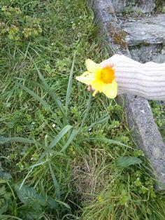 un Narciso que florece todos los años en mi jardin