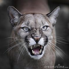 Cougar, Puma, Mountain Lion, whatever name you choose to give him, always remember to give him space. Big Cats, Cool Cats, Cats And Kittens, Pumas Animal, Beautiful Cats, Animals Beautiful, Animals And Pets, Cute Animals, Wild Animals