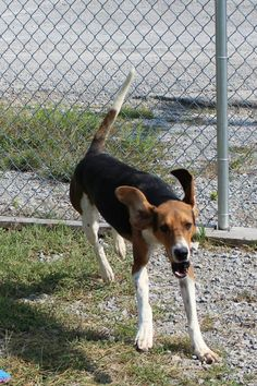 Rocket - a Treeing Walker Coonhound needs a home ASAP! Code red! He's in TN. Sponsored.CALL 931-270-8669 OR 931-698-9991 or go to https://www.facebook.com/pages/Animal-Rescue-Assistance-Team-Tennessee for more info! Please repin!