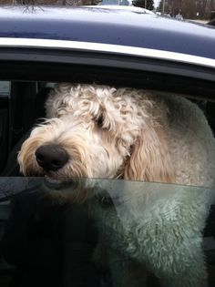 Adorable and soft doodle from the Market Basket Parking lot, Rockland, Maine. .. .