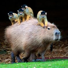Monkeys are enjoying a free ride from a Capybara
