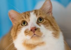 Meet Frank! He wants to be your best buddy. Frank likes to play, get petted, and might do well with kids. He's one of our FIV+ cats which mostly means he just needs to live indoors-only. Come meet this handsome creamsicle cat today! #cats #tabbytuesday #adopt