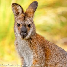 Red-necked Wallaby females that mate at end of breeding season may delay birth until about 8 months later.