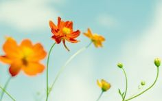 Download Cosmos Flowers HD Desktop Wallpapers From High Quality Resolution For Your Widescreen Background