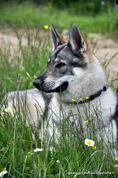 23 Fantastiche Immagini Su Cane Lupo Cecoslovacco Wolves