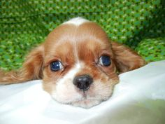 Cavalier King Charles  Fairwood Pet Center, from our home to yours, puppies & so much more!   425-271-9344  www.fairwoodpetcenter.com  Follow us on Facebook & Twitter, @FairwoodPets