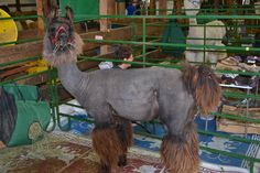 Image result for llama shearing Shearing, Horses, Animals, Image, Animaux, Horse, Animal, Animales, Animais
