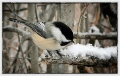 Chikadee in the park Black Capped Chickadee, Chickadees, Cool Landscapes, Nature Photos, Feathers, Birds, Park, Bird, Parks