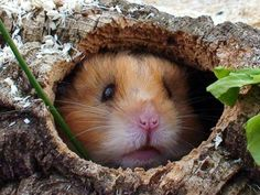 Hamster in a hollow log - Pixdaus Animals And Pets, Funny Animals, Cute Animals, Small Animals, Farm Animals, Hamster Kawaii, Hamster Care, Hamster Stuff, Syrian Hamster