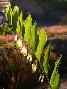 Angular Solomon's Seal, Polygonatum odoratum - Flowers - NatureGate