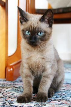 Beautiful Tonkinese kitten with beautiful Blue eyes Tonkinese Kittens, Sphynx Cat, Siamese Cats, Toyger Cat, Birman Cat, Cute Kittens, Puppies And Kitties, Cats And Kittens, Kitty Cats
