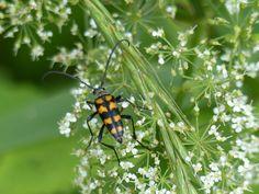 Four-banded longhorn beetle, Kärkna forest.