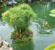 Floating Island Pond Planters provide a unique new way to enjoy aquatic plants and other garden plants in a water garden! Self watering. Koi proof. Fights algae and improves water quality! For best