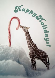 Giraffe Licking Candy Cane