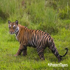 Aren't tigers beautiful? Anyone can become a Tiger Protector