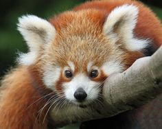 Is there anything cuter than a baby red panda?