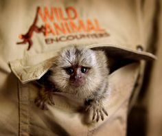 """An abandoned baby monkey has turned adversity into education after becoming a cute and cuddly ambassador for wildlife. The six-week-old marmoset was abandoned when her mother could no longer produce enough milk and is now fed and cared for around the clock by a carer at Western Sydney's Wild Animal Encounters. Yet to be named, the tiny marmoset will visit schools, shopping centres and corporate events to promote wildlife conservation. """