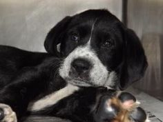 ELIZABETH is an adoptable Hound Dog in Prestonsburg, KY.  ELIZABETH is a 6 week old female Labrador Retriever/Hound mix one of a litter of three. These are understandably very shy lil gals.   If you a...