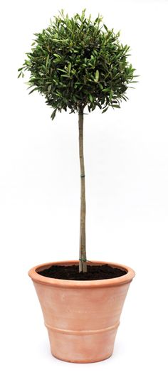olive tree in pot: my want of the week (in front of partition wall, facing door)