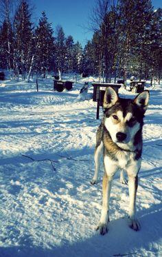 Chien de traîneau. Laponie Finlandaise. by Bartman D. Husky, Dogs, Travel, Snow, Animaux, Viajes, Doggies, Trips, Husky Dog