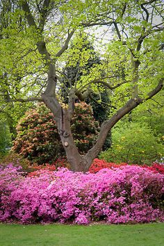 Love the bright blooms contrasting against the delicate spring green of new leaves and grass. #gardening #landscaping Pictured: Azaleas.Hall Place, Bexley, Kent, England, UK. | Via Red Bubble