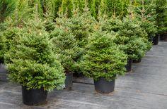 Já pensou em cultivar a própria árvore de natal em casa? Confira algumas dicas…
