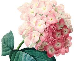 Botanical illustration HYDRANGEA: