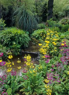 Trengwainton Gardens, Cornwall, UK: Stream-side planting in spring with candelabra primula - in sheltered woodland. This is a National Trust Garden. The use of water in English Gardens: Water has long played an important role many UK gardens. Some of the best English gardens have been built around natural water features, such as streams running down secluded valleys or tranquil pools in a rural setting. Many of the grand English landscape gardens use water