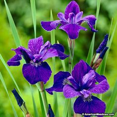 Purple Siberian Iris Caesar's Brother, Iris sibirica, Siberian Iris