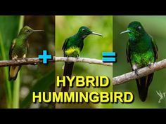 I Saw a Rare Hybrid Hummingbird in Colombia - YouTube Birds Photos, Humming Birds, I Saw, Pet Birds, Youtube, Animals, Colombia, Animales, Animaux