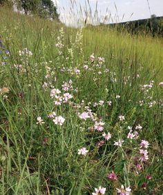 Magerer Trockenrasen mit schönem Aspekt der Bunten Kronwicke (Securigera varia):