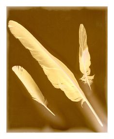 Three Feathers - Lumen print on expired Forte black and white photographic paper.