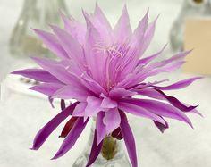 Epiphyllum Mandi Knaras