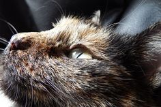 Katze, Tier, Entspannen, Schildpatt, Tricolor