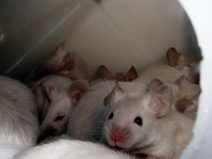 Siamese Mice Information and Facts