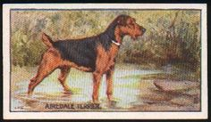 Airedale Terrier   card from England