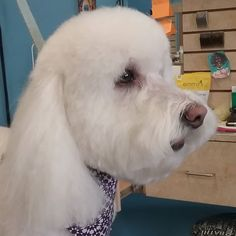 Rayna #tucsondoggrooming #doggrooming #wagsmytail A well groomed dog is a well loved dog! Call us today to schedule your dog grooming appointment 520-744-7040